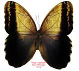 Caligo memnon (Colombia)