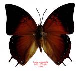 Charaxes amycus bayanii (Philippines)
