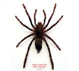 Coremiocnemis sp. (Malaysia)