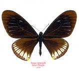 Chilasa slateri marginata (Thailand)