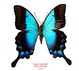 Papilio pericles (Timor)