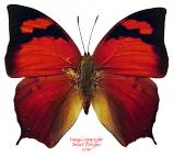 Anaea tehuana (Peru)