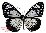 Parantica vitrina (Philippines) A-