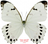 Morpho luna (Mexico) A1 and A-