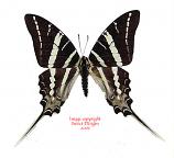 Graphium rhesus (Sulawesi)