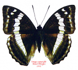Bassarona franciae attenuata (Thailand)
