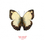 Cymothoe jodutta (RCA) A-
