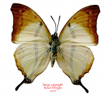 Charaxes kaldeni f. homeyeri (RCA)