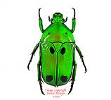 Heterrorhina sexmaculata (Malaysia) A2