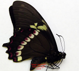 Papilio cleotas (Argentina/Brazil) A1 and A2