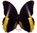 Caligo atreus (Colombia)