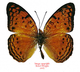 Phalanta madagascariensis (Madagascar) A2