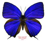 Arhopala hercules (Sorong)
