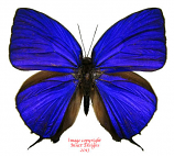 Arhopala hercules (Sorong) A2
