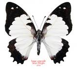Graphium endochus (Madagascar) A-