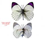 Colotis ione 2 (Tanzania)