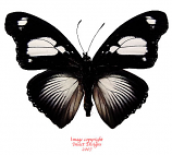 Hypolimnas mechowi (RCA)