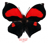 Siderone sp. f. mars (Peru)