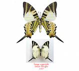 Graphium antiphates (Malaysia) A-