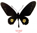 Parides chabrias (Peru)