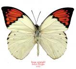 Hebomoia glaucippe aturia (Malaysia)