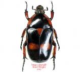 Heterrorhina paupera (Philippines)