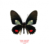 Parides erlaces (Peru)