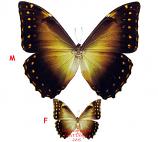 Morpho telemachus (Peru) A1 and A2