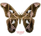 Rothschildia lebeau (Costa Rica)