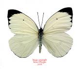 Ascia buniae (Peru)