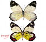 Delias hyparete luzonensis (Philippines) A-