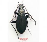 Adelocarbus seishinensis seunglaki (Korea)