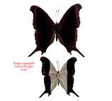 Marpesia coresia (Peru)