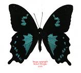 Papilio epiphorbas (Madagascar) A2
