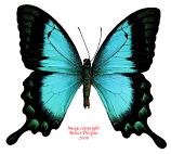 Papilio lorquinianus albertsi (Arfak) A-