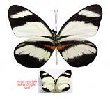 Perrhybris lorena (Peru) A-