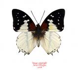 Charaxes hadrianus (RCA)