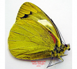 Delias levicki levicki (Philippines) M