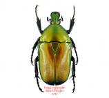 Torynorrhina distincta (Thailand)