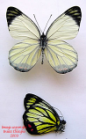 Delias hyparete mindanensis (Philippines)