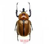 Golofa cochlearis (Argentina) M