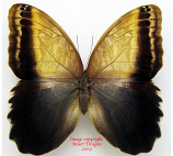 Caligo sp. (Colombia)