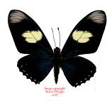 Eurytides pausianus (Peru)