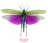 Titanacris albipes (Peru) A-