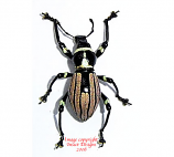 Pachyrrhynchus loheri (Philippines)