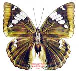 Bassarona patala taooana (Thailand) A1-