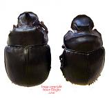 Heliocopris tyrannus (Malaysia)