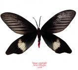 Hestia fiabellicornis cometans (Thailand) A2