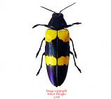 Chrysochroa mniszechi (Thailand)