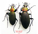 Coptolabrus jankowskii fusanus (Korea)